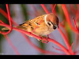 Tree Sparrow by KeldBach