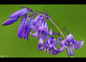 Blue Bells by KeldBach