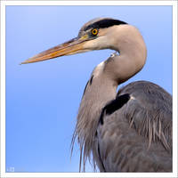 Heron Portrait by KeldBach