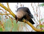 Hungry Crow by KeldBach
