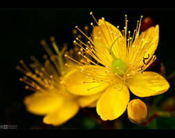 Hypericum Revisited by KeldBach