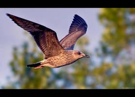 Herring Flight by KeldBach