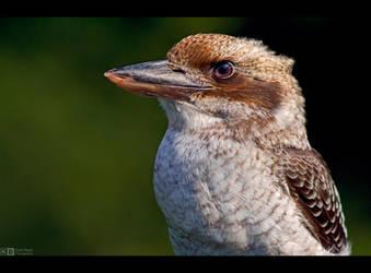 Kookaburra Profile by KeldBach