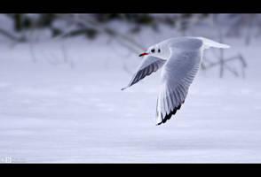 Winter Gull by KeldBach