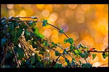Backlit Ivy by KeldBach