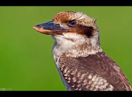 Cheerful Kookaburra by KeldBach