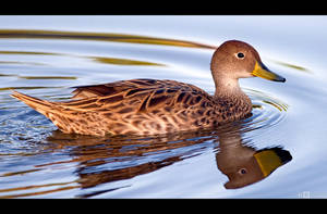 Yellow-Billed Pintail by KeldBach