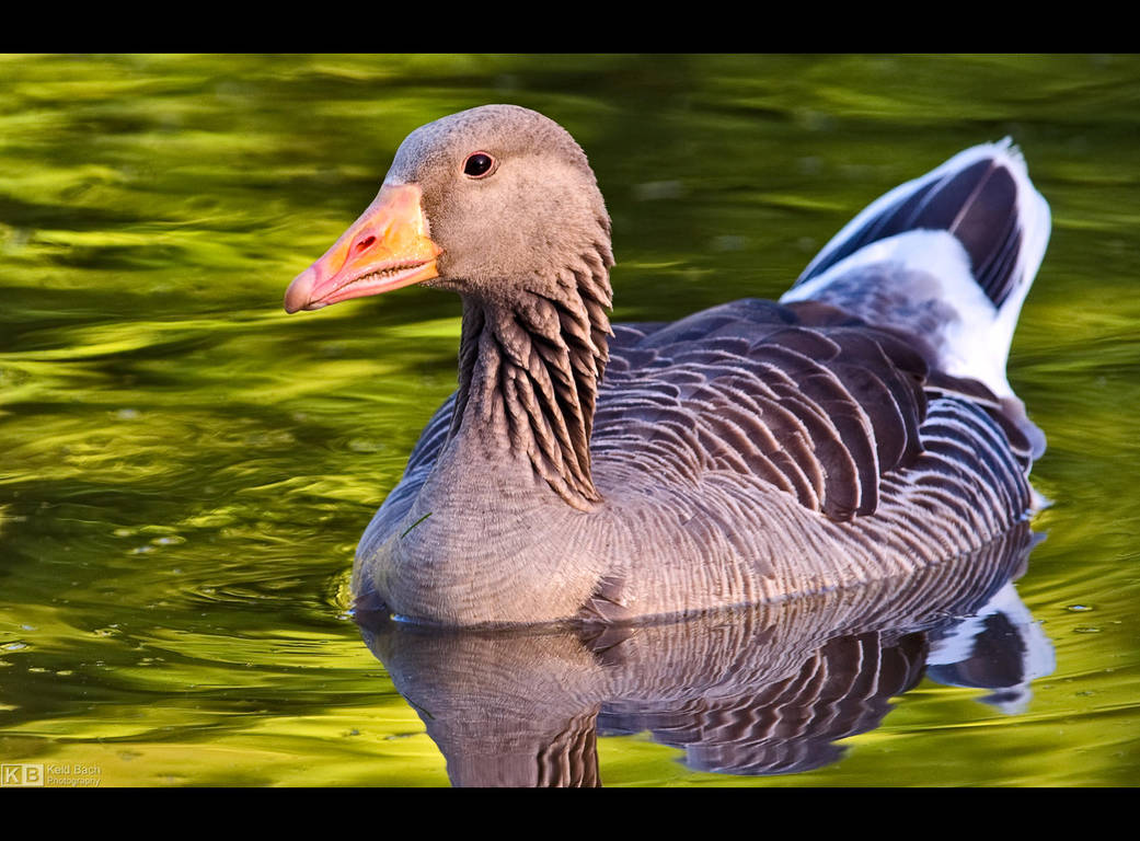 Greylag Goose Up Close by KeldBach