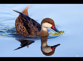 Bahama Pintail by KeldBach