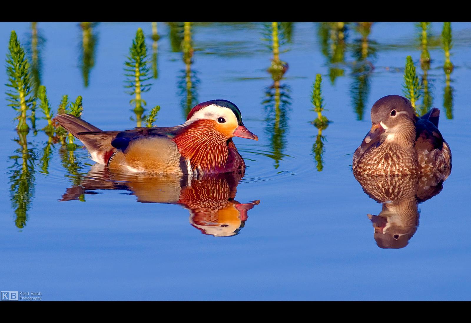 Pair of Mandarins by KeldBach