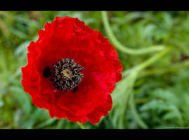 Late Poppy by KeldBach