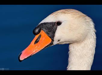 Swan Up Close by KeldBach