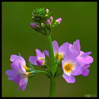 Blooming Featherfoil by KeldBach