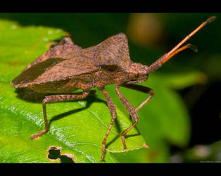 Squash Bug by KeldBach