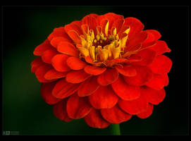 Crimson Zinnia by KeldBach