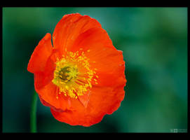 Poppy Portrait by KeldBach