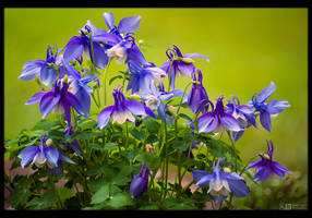 Peak Time for Columbines by KeldBach