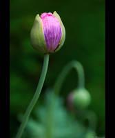 Poppy Buddies by KeldBach