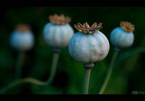 Poppy Pods by KeldBach