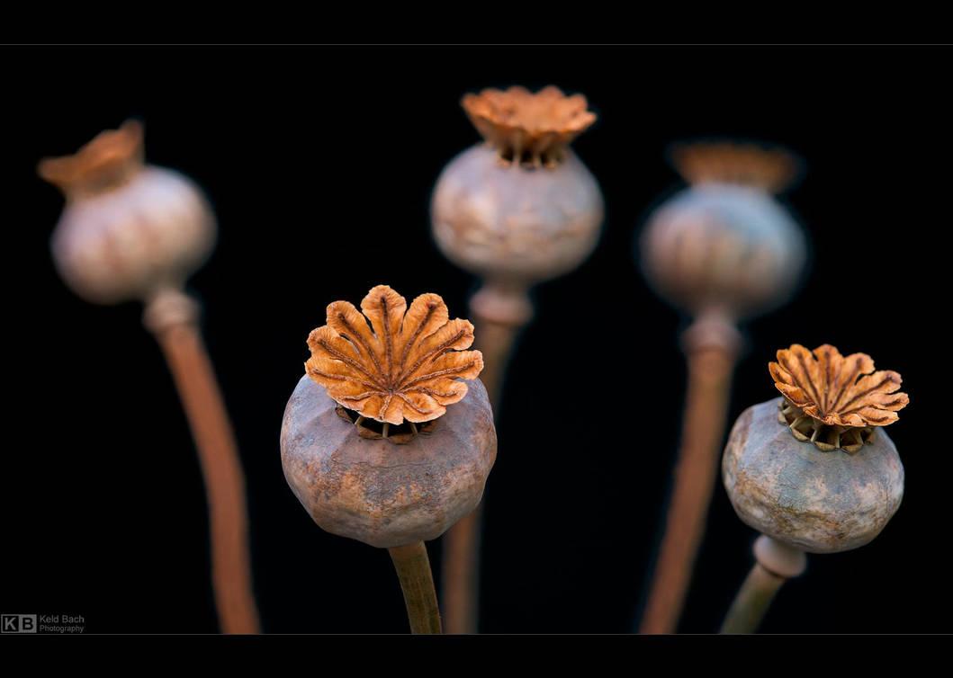 Poppy Seed Pods 2 by KeldBach
