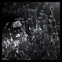Wet Poppies in B/W by KeldBach