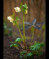 White Lenten Rose by KeldBach