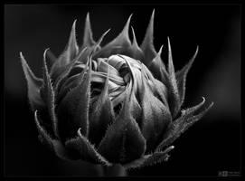 Sunflower Knot in Mono by KeldBach