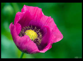 Magenta Poppy Portrait by KeldBach