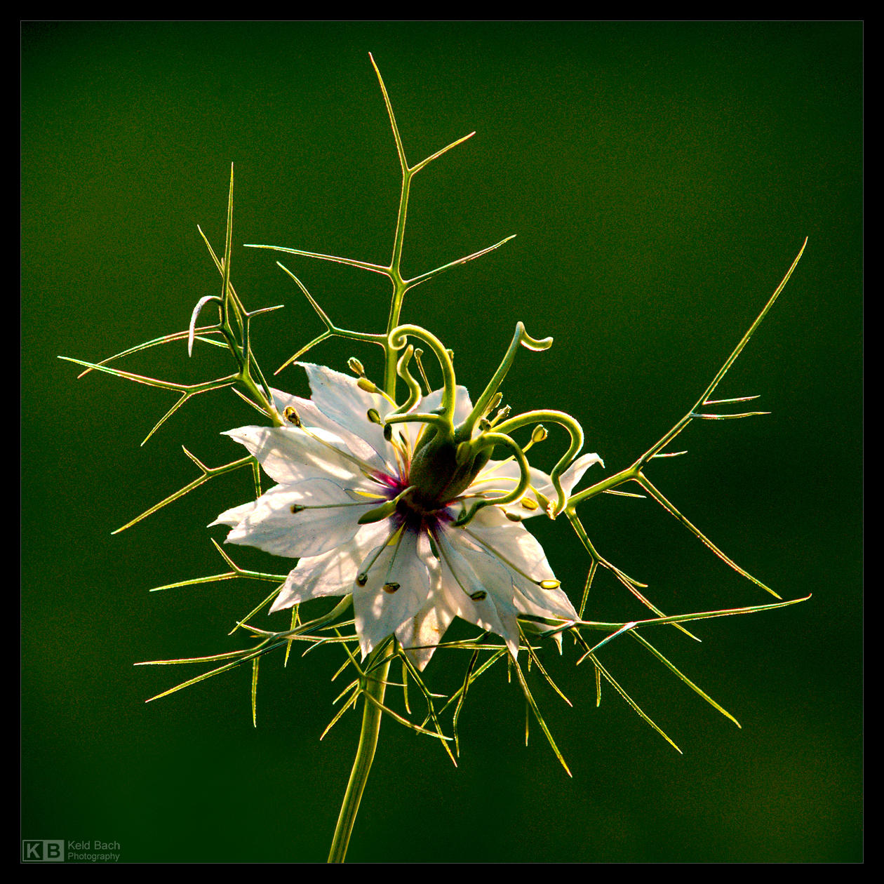 Most Peculiar Flower by KeldBach