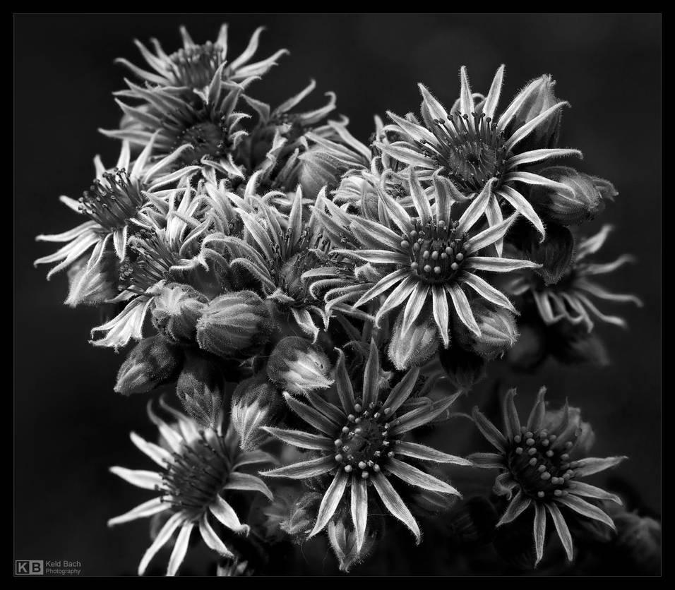 Blooming Sempervivum in B/W by KeldBach