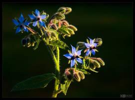 Blooming Borage by KeldBach