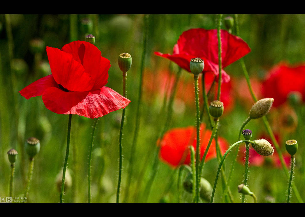 Poppy Power by KeldBach