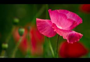 Pinkish Poppy by KeldBach