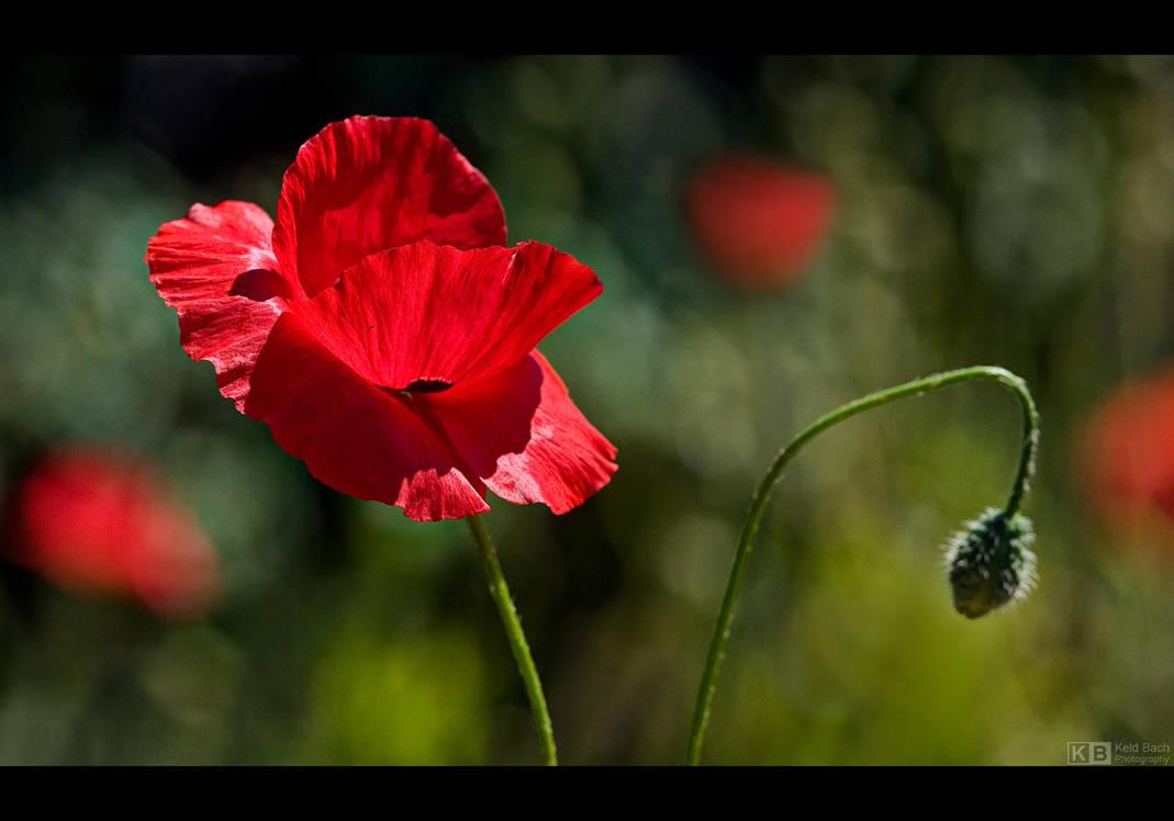 Morning Poppy by KeldBach