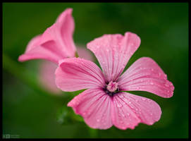 Rose Mallow by KeldBach