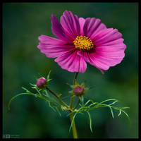 Cosmos Portrait by KeldBach