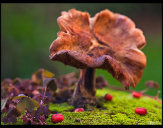 Old Chanterelle by KeldBach