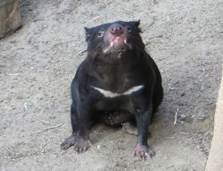 Tasmanian Devil by Firija