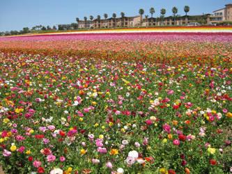 Carslbad flower fields by Firija