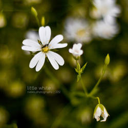 Little White by natea