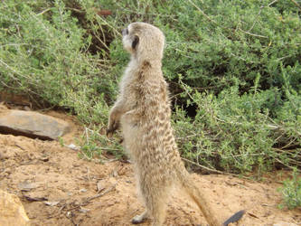 Meercatting... by phasai