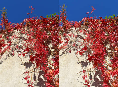 Heathfield Walled Garden Ornamental Vines Stereo by aegiandyad