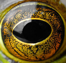 frog eye by starred4life