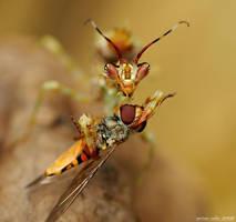 187.Pseudocreobotra ocellata by Bullter