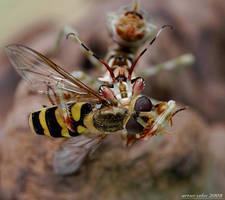 189.Ocellata vs Buzz by Bullter