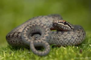 23.Polish snake by Bullter