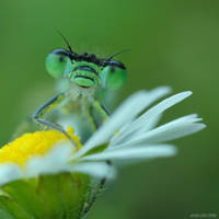 220.Dragonfly by Bullter