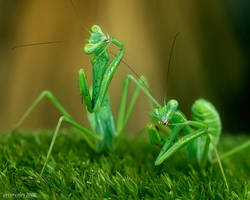 224.Friendly mantis by Bullter