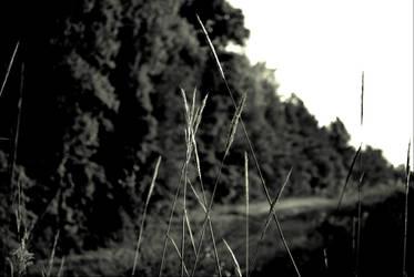 Tall Grass by revnk