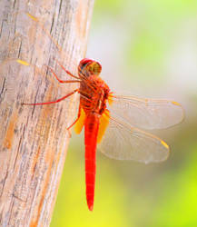Dragonfly On a Summer Day by Momoksha